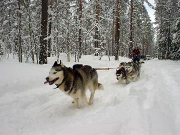Rakas Tundra, koirista parhaita, yksin johdossa