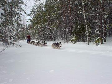 Tundra johtaa seitsemän koiran valjakkoa