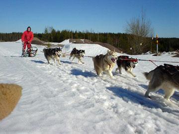 Kevään viime lumilla Cola, Nata, Rascal ja Scilla (edessä Tundra ja Enkeli)