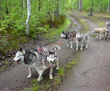 Harjoittelua kesällä 2004; Tundra, Lumi, Tojon, Enkeli, Cola, Scilla ja Rascal; Nata, Panda ja Rosso vielä takana, mutta n...