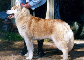 Troika´s the Lone Star, Cola, mainio työkoira, joka jo vuoden ikäisenä johti parissa 10 koiran valjakkoa