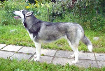 Kuuhaukun Onnettaren Oodi (Sira, 2 serttiä) on suorittanut yhtenä Suomen 3 siperianhuskysta vaativan palveluskoirien BH-ko...