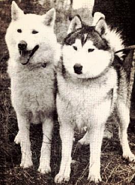 Kuvassa Bow Lake kennelin koiria vuosilta 1949 ja 1953
