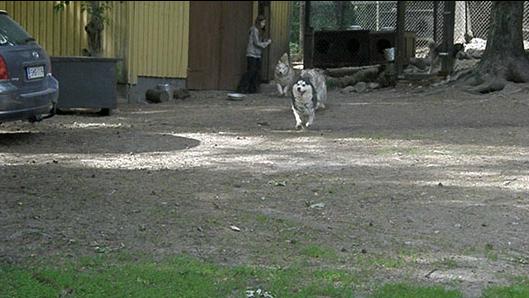 Cola, Joiku ja Henna samassa juoksuvuorossa Tojonin kanssa; suunta on sama vapaana puutarhaan