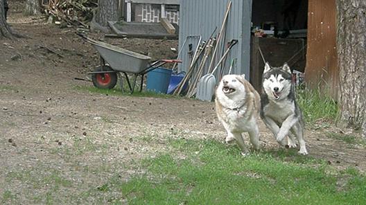 Icon ja Mokka juoksevat niin kovaa tarhasta puutarhaan, etteivät tahdo jalat ehtiä maassa käydä