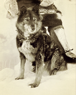 Malamuuttisekoitus (1/4) Togo oli seerumiajon todellinen sankari. Se esiintyy yhä koiriemme sukutauluissa.