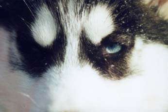 4kk vanhat siperianhuskyn silmät. (Ruuti)