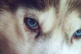 Siperianhuskyn silmien kauneus. (Rusty)