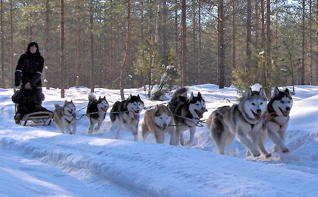 Old Line® Siberian Huskies