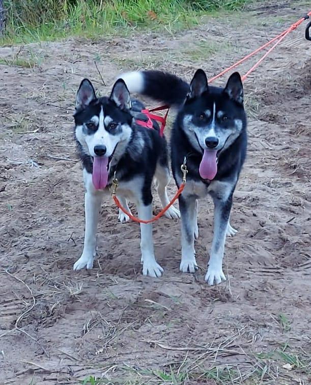 Kuuhaukun Beauty and the Husky ja Kuuhaukun Redhood's Little Wolf Friend, 1-vuotiaana, 50% tsukotkan rekikoira, 50% siperi...