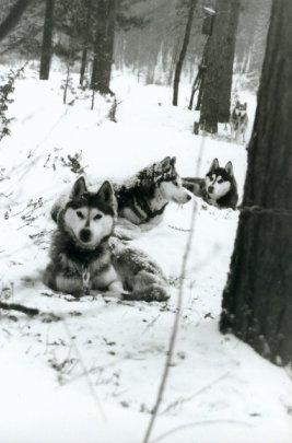Koirat yöpyivät kiinnipitoketjuissa ja lunta pyrytti...