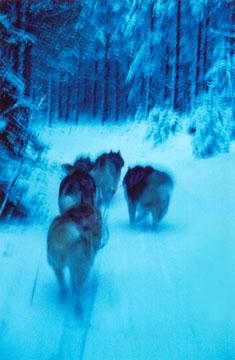 Illan sinisessä hämyssä eläimet hävisivät lumiseen metsään