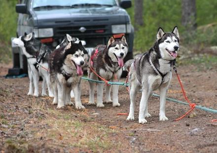 Koiria kesävedossa: Peppi, Joiku, Freya, Odessa ja Sero