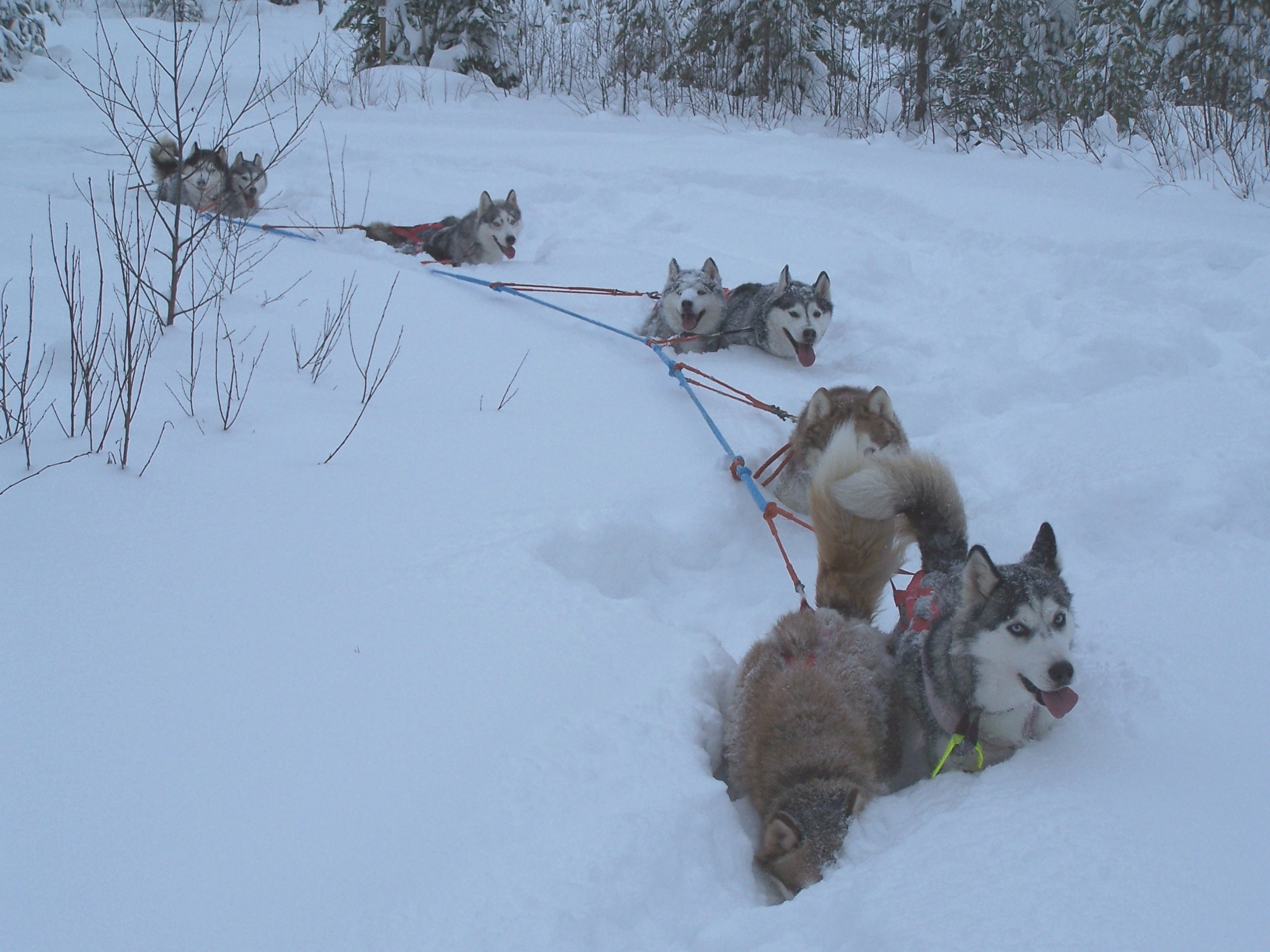 Joensuussa talvipäivillä 2004, käännös umpihangessa, mutta koirat vetävät